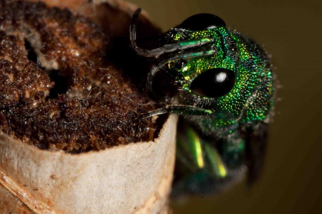 Name:  Cuckoo Wasp-2.jpg Views: 85 Size:  86.6 KB