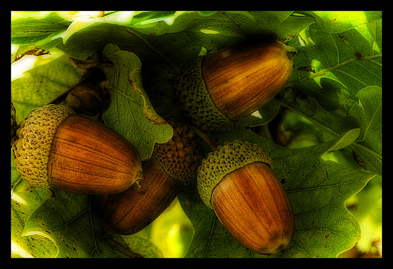 Name:  acorns.jpg