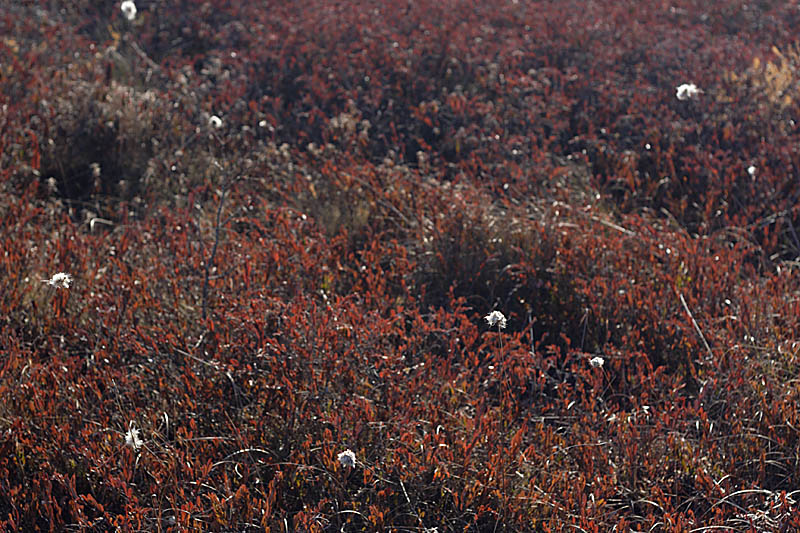 Name:  Cottongrass.jpg