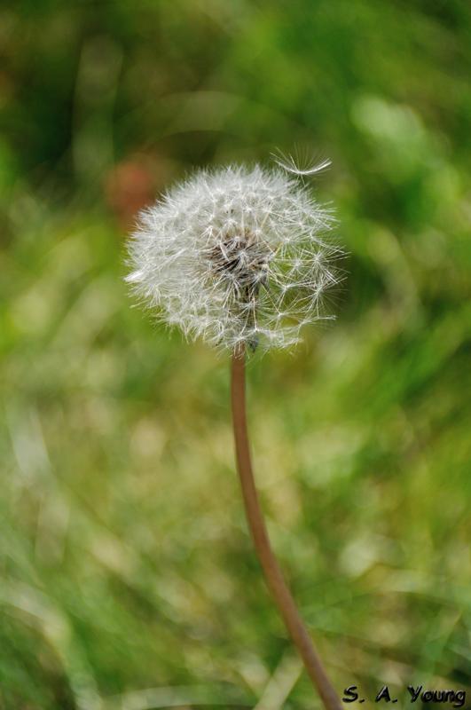 Name:  Dandelion 1.jpg Views: 74 Size:  208.9 KB