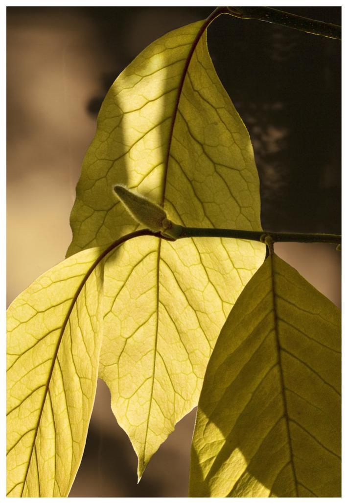 Name:  Magnolia Leaves, 2014   (1).jpg Views: 35 Size:  81.6 KB