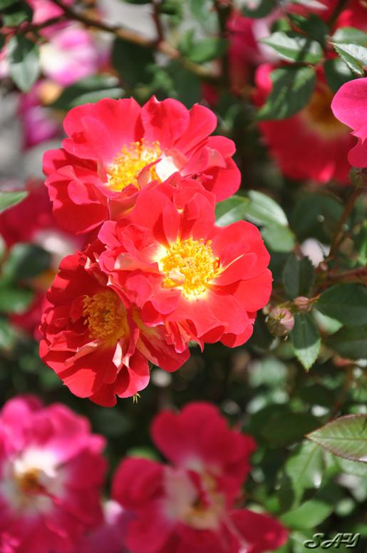 Name:  Rose 1 Orig.jpg Views: 48 Size:  158.1 KB