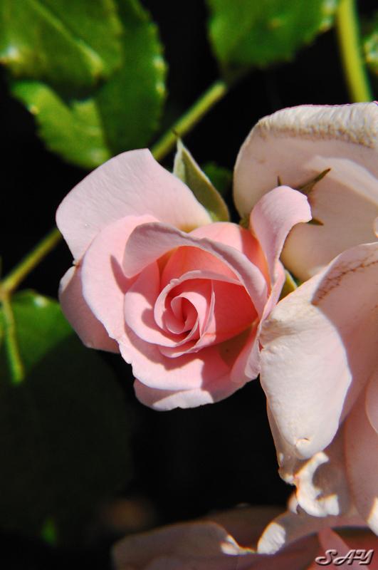 Name:  Rose 1.jpg Views: 2327 Size:  206.5 KB