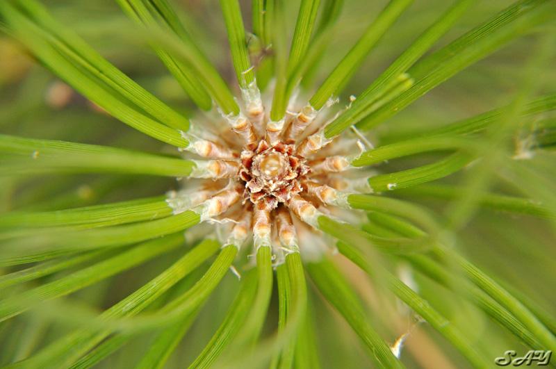 Name:  Pine 1.jpg Views: 1562 Size:  169.0 KB