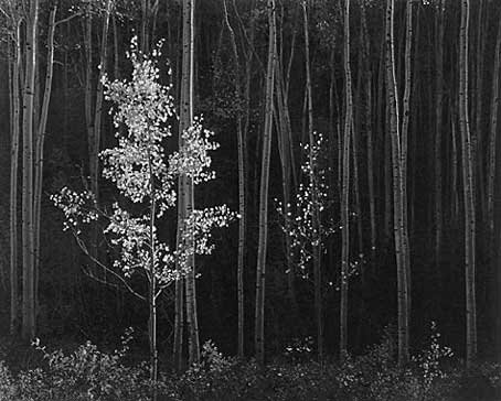 Aspens, Northern New Mexico 1958