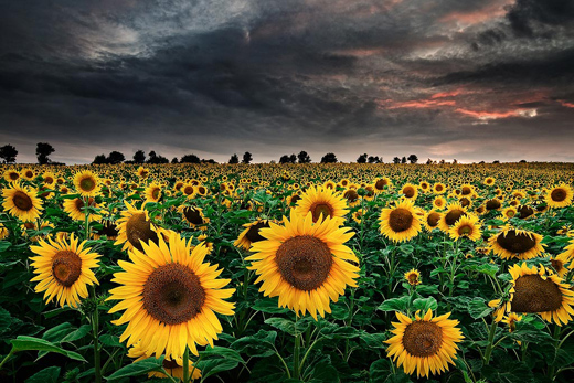 Time for Sunflowers by mibriet