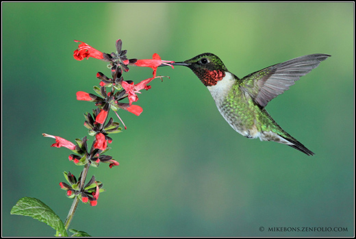 Male RTH Hummingbird by Mike Bons