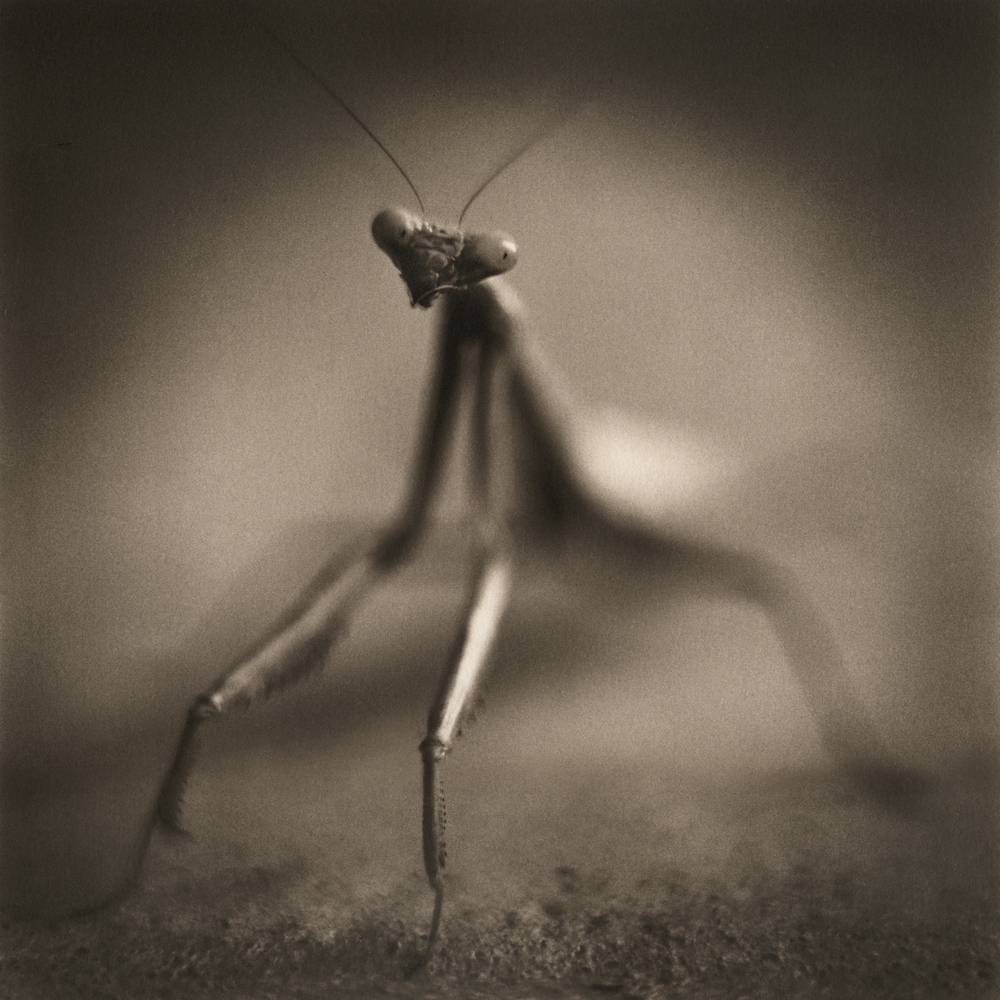 Mantis by david Johndrow