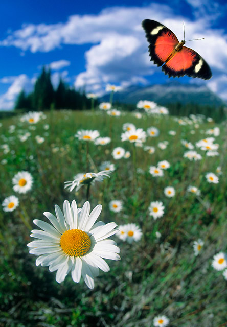 Butterfly and Flower - Composite image by Darwin Wiggett