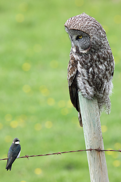 Great Grey Owl and Tree Swallow on Fence - Composite image by Darwin Wiggett