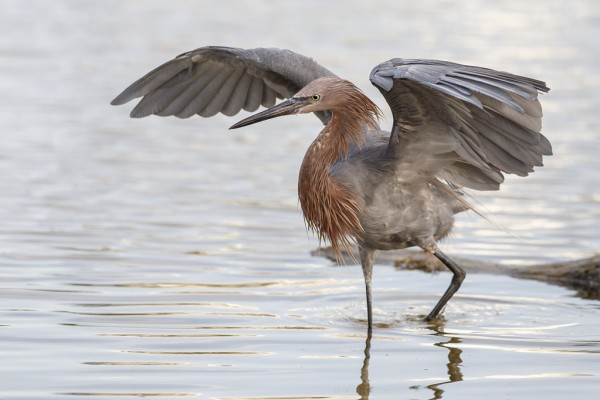 Fort Myer's Beach Birding by Mike Bons (Reddish Egret)